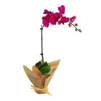 Orchid Phalaenopsis Purple